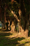 Racines de contrefort de figue de baie de Moreton image libre de droits