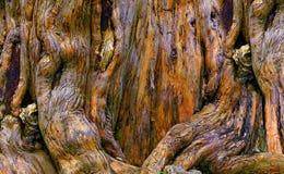 Racines de décomposition de banian Photo libre de droits