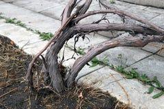 Racines de fin de buisson de raisins d'Isabella  photographie stock