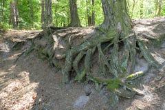 Racines de forêt Photographie stock libre de droits