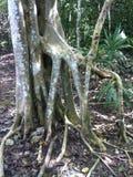 Racines de forêt tropicale Photos libres de droits