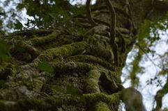 Racines de lierre d'arbre Photos libres de droits