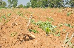 racines de manioc Images libres de droits