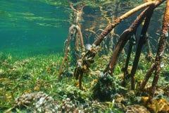 Racines de palétuvier sous-marines avec l'espèce marine Photos libres de droits