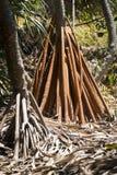 Racines de palmier de Pandanus Photographie stock libre de droits