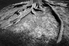 Racines du vieil arbre antique exposé à l'air ouvert Images stock