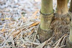 Racines en bambou Photographie stock libre de droits