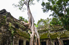 Racines en pierre antiques de construction et d'arbre, merci ruines de temple de Prohm, Angkor, Cambodge Photo libre de droits