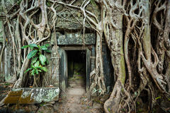 Racines en pierre antiques de porte et d'arbre, merci temple de Prohm, Angkor, Camb Photos stock