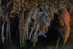 Racines et éponges de palétuvier Image libre de droits