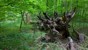 Racines impeccables cassées d'arbre dans le support d'été images stock
