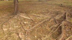 Racines jaunes d'arbres image libre de droits