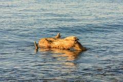 Racines mortes d'arbre dans l'eau photo libre de droits