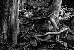 Racines noires et blanches d'arbre Image stock