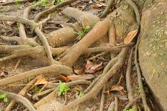 Racines nues Photographie stock libre de droits