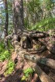 Racines nues complexe tordues de vieux pin sur le rivage du lac Seliger, région de Tver Image stock
