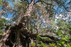 Racines nues complexe tordues de vieux pin sur le rivage du lac Seliger, région de Tver Images stock