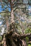 Racines nues complexe tordues de vieux pin sur le rivage du lac Seliger, région de Tver Photos libres de droits