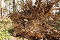 Racines sèches d'arbre tombé Images stock