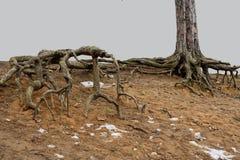 Racines terribles des arbres images libres de droits