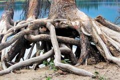 Racines tordues à la base d'un arbre impeccable photo stock