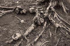 Racines tordues par arbre Images stock