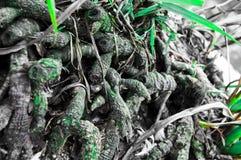 Racines vertes Photo libre de droits