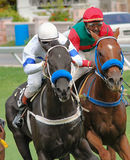 Racing. Horse racing in Barbados, WI Stock Images