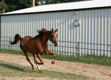 Racing against time. Pure bred arabian gelding running in arena Royalty Free Stock Photography