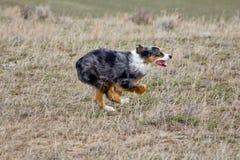 Racing Australian Shepherd Stock Photo