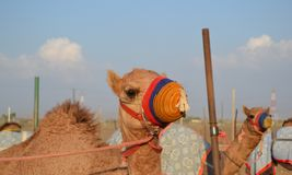 Racing camel in his colored muzzle Stock Image