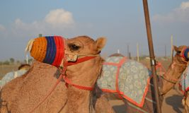 Racing camel in his colored muzzle Stock Photo