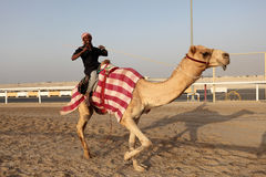 Racing camel trainer Royalty Free Stock Photos