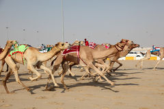 Racing camels Stock Image