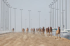 Racing camels in Doha Stock Photography