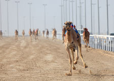 Racing camels in Doha Royalty Free Stock Images