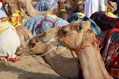 Racing camels in Doha, Qatar Stock Photography