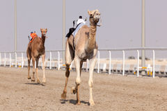 Racing camels in Qatar Stock Photography