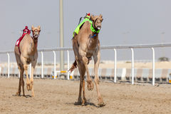 Racing camels in Qatar Royalty Free Stock Photography