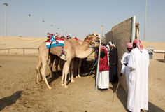 Racing camels at the race track Stock Photography