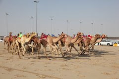Racing camels with robot jockeys Royalty Free Stock Photography