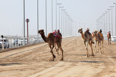 Racing camels with a robot jockeys Stock Image