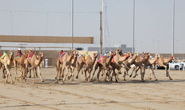 Racing camels with robot jockeys Royalty Free Stock Images