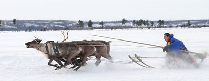 Racing on deer during holiday of the reindeer. royalty free stock photos