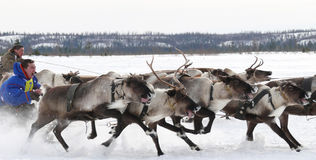 Racing on deer during holiday of the reindeer. Stock Photos