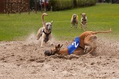 Racing dogs Royalty Free Stock Images