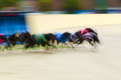 Racing greyhounds Royalty Free Stock Photography
