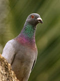 Racing Homer Pigeon. Originated from Belgium and England, is bred from the best of flyers from other breeds. These pigeons will vary in appearance and are not Royalty Free Stock Image