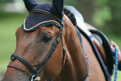 Racing horse. Portrait on competition Royalty Free Stock Photo