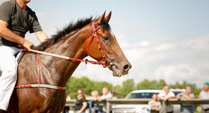 Racing horse portrait close up Stock Images
